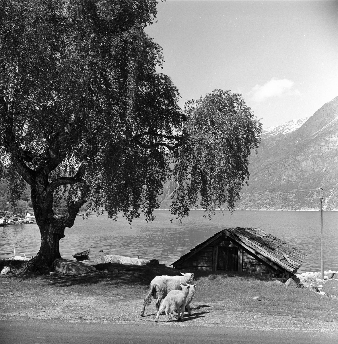 Sørfjorden i Hardanger, Hordaland, mai 1963. Sau med lam, stort tre og naust ved havet.