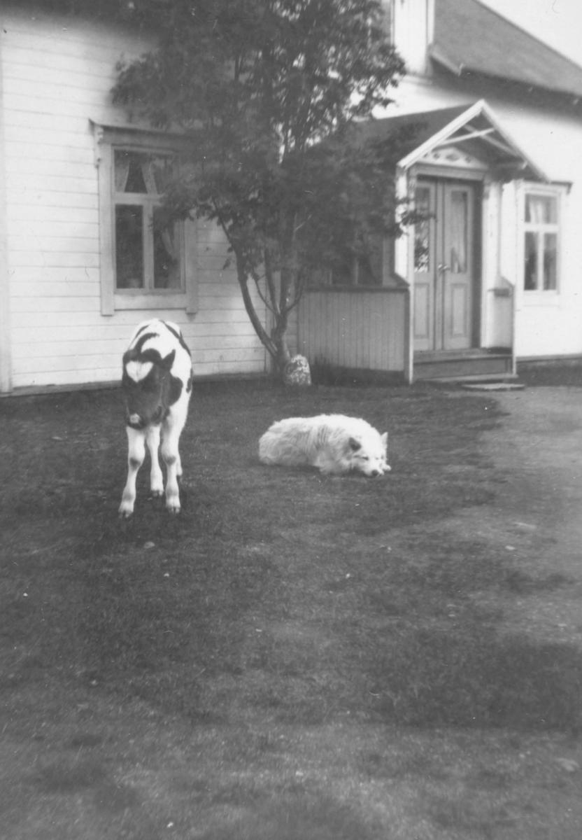 Ei ku og en hund som ligger på bakken foran huset.