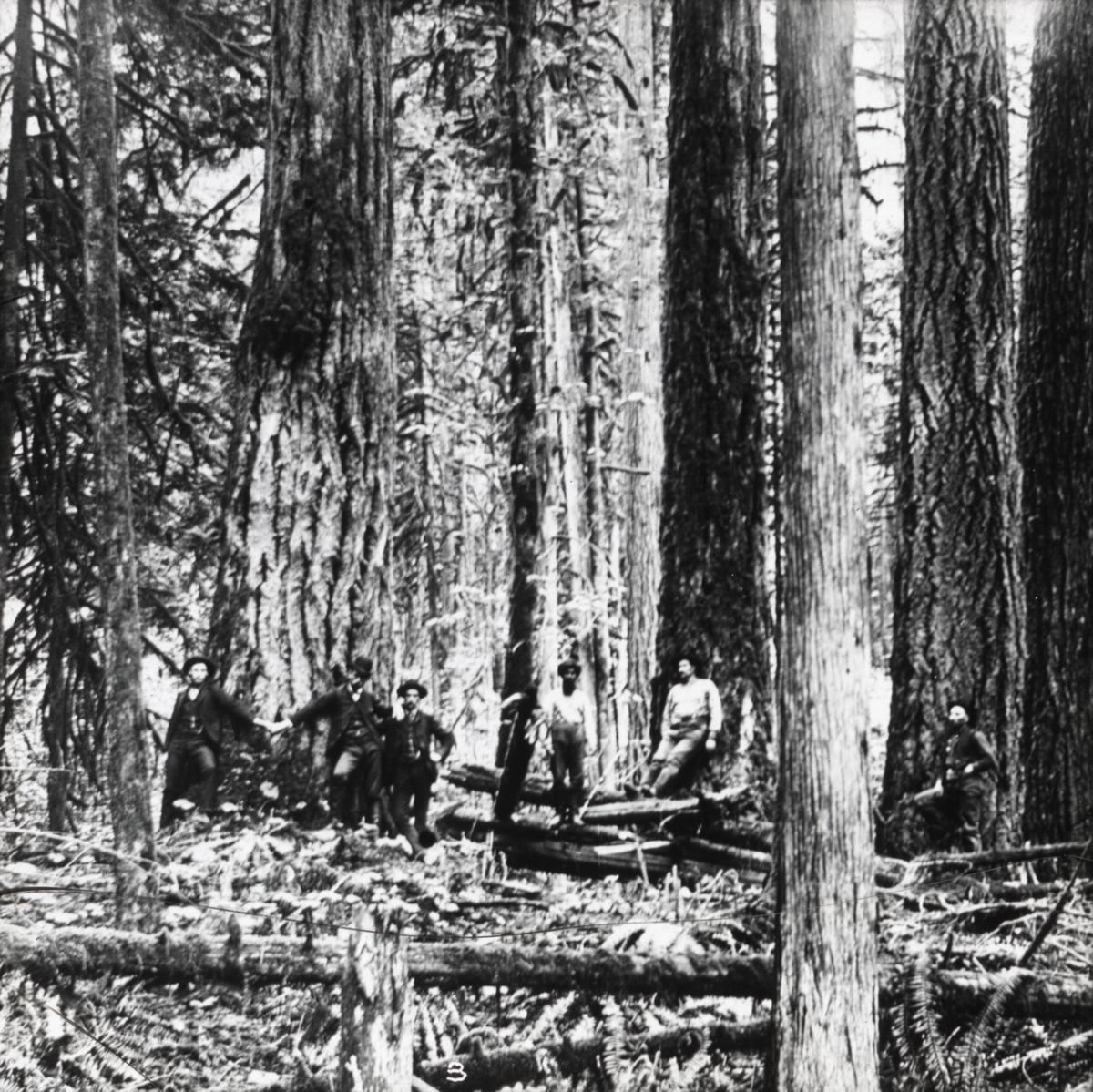 """Håndkolorert dias. Seks menn står blant store furutrær. Mindre trær ligger på bakken. .I boken """"En emigrants ungdomserindringer"""" forteller fotografen Anders Beer Wilse om sitt arbeid i U.S.A. Blant annet forteller han om utstikkingen av en jernbanelinje langs fjorden fra Puget Sound i Seattle til Tacoma. Om skogene i Washinton forteller han: .""""det var en mektig, gammel skog vi arbeidet i, med trær optil 12 fot i diameter. Og når vår linje støtte på en slik kjempe, måtte vi stikke rundt den, da det vilde tatt altfor lang tid å hugge den. Ofte lå der falne kjemper på makren med et tykt moselag over sig, mens der av og til vokste graner med røttene slynget rundt dem. Å klyve over dem var ikke alltid lett, og det resulterte i at en blev god og våt, da mosen på grunn av det så å si daglige regnvær var gjennemtrukket som svamp. Solen så vi ikke skinne hernede, det var bare når vi kom op i fjellskråningene at vi fikk noen stråler av dem."""""""