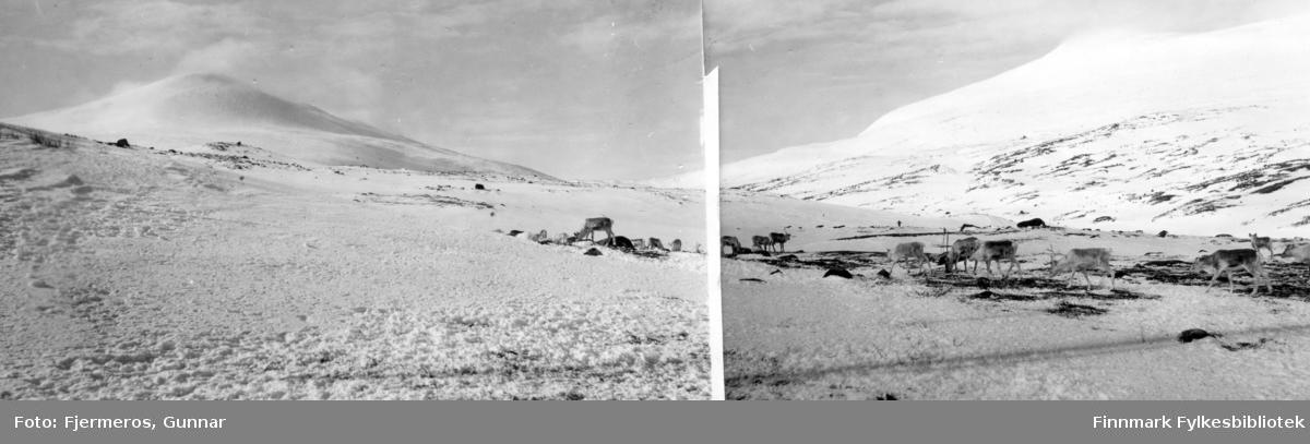 Noen reinsdyr fotografert i Tana-dalen mens de spiser. Nøyaktig sted er ukjent.