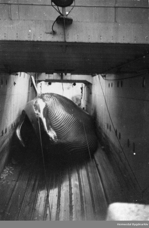 """Birger Ålrust var vinteren 1965 ombord i kvalkokeriet """"Torshav"""" i Sørishavet, og her ein del bilete av arbeidsprosessen ombord Bilete 1: Kvalen er nett komen opp or sjøen. Bilete 2: Kvalen vert dregen vidare inn på dekket Bilete 3: Vidare inn på dekket Bilete 4: Før slaktinga laut kvalen verta kjønnsbestemt og lengdemælt. Bilete 5: Kvalen er komen opp på fyrste dekk, og flensinga kan starta. Bilete 6: Flensinga er i full gang. Bilete 7: Spekket vert drege av ved hjelp av vinsj og flensekniv Bilete 8: Kvalkjeften er 4-5 meter lang, og her er det høve til å studera bardane. Bilete 9: Kjevebeinet til kvalen er heist opp i vinsjen. Bilete 10: Her er kjevebeina på kvalen heist opp under slaktinga. Bilete 11: Fangstbåtane, 3-4 stk., drog kvalane fram til kokeriet. Bilete 12: Finnkval """"på vent"""" langs skutesida til kvalkokeriet. Bilete 13: Spermasettkval eller tannkval som har blekksprut til hovudmeny Bilete 14: Blåkvalen var i 1965 freda. Men då dette var siste sesongen kvalkokeriet og fangsten skulle drivast, hadde dei med ein fotograf, og dermed laut eitt eksemplar av arten bøta med livet."""