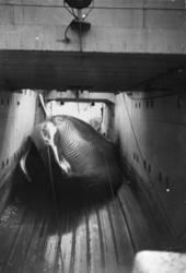 """Birger Ålrust var vinteren 1965 ombord i kvalkokeriet """"Torsh"""