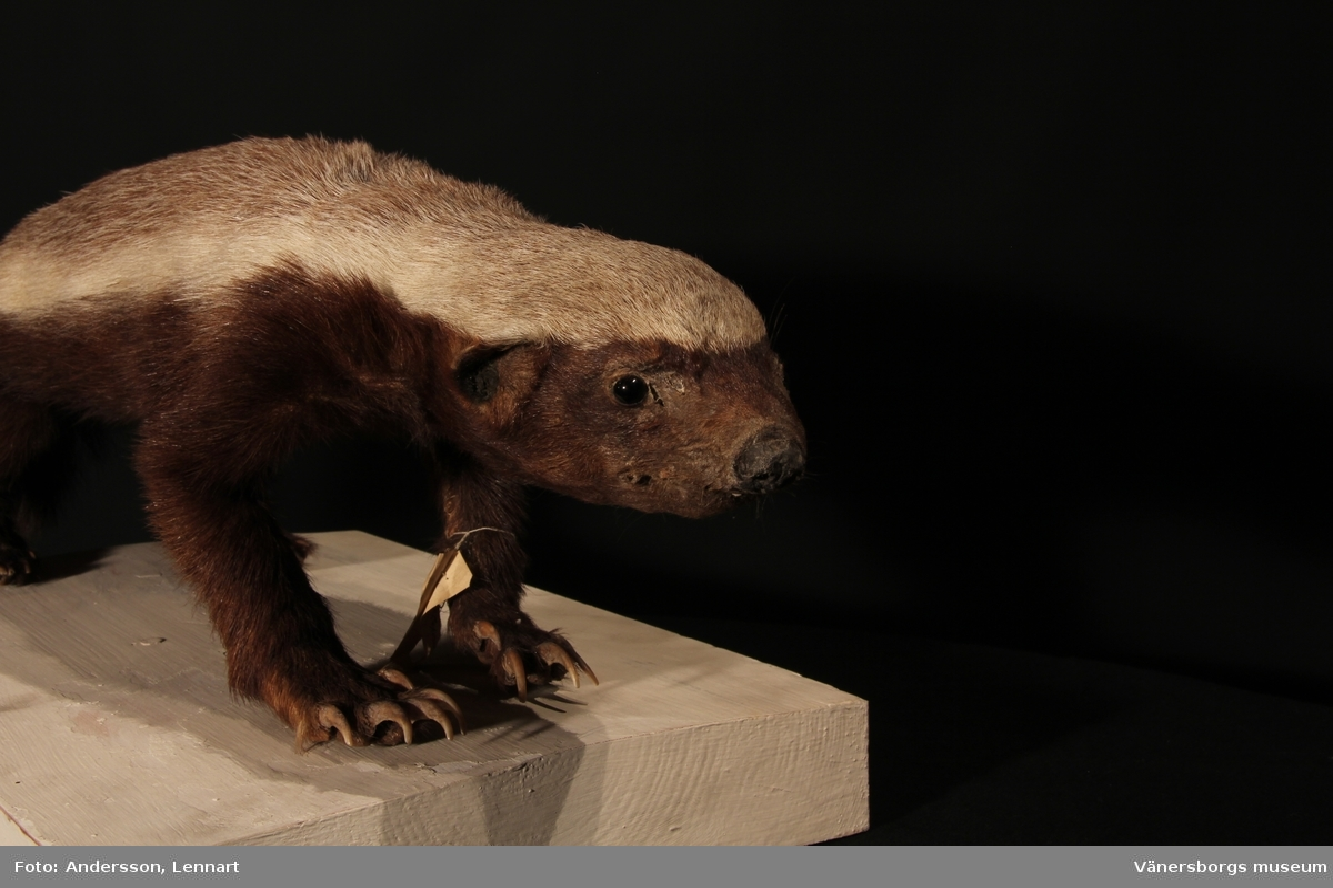 Vänersborgs museum. Afrikanska fågelsalen, honungsgrävling.