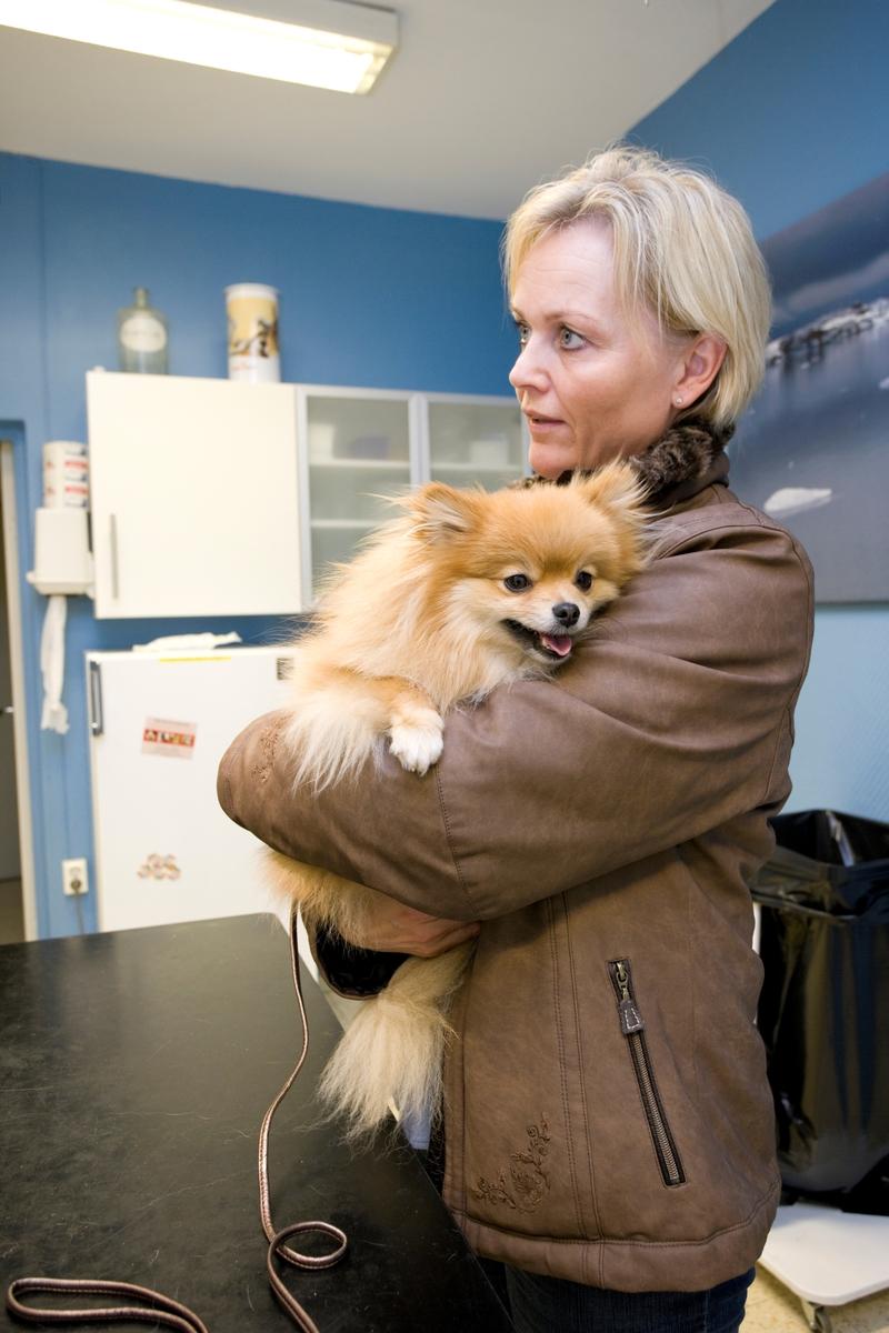 Hund hos veterinær. Eieren bærer hunden av rasen pomeranian