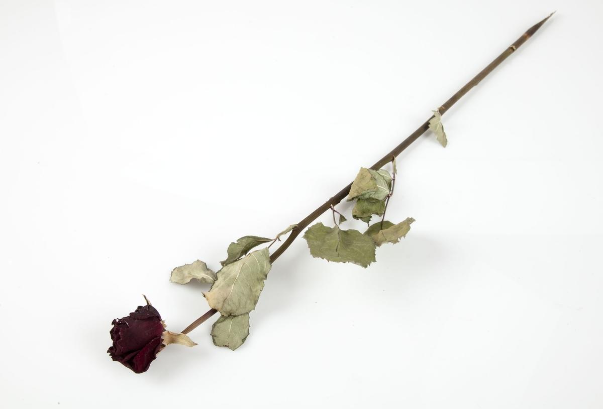 Rose innsamlet etter terrorhandlingen 22. juli 2011 fra minnesmarkeringene i Lillestrøm.   En enkel rød rose hvor fargen nok har mørknet. Stilken varierer i farge mellom lilla og brun og er uten torner. Få blader, men fargene er godt bevart; sølvgrønne på den ene siden og lysegrønne på den andre siden.