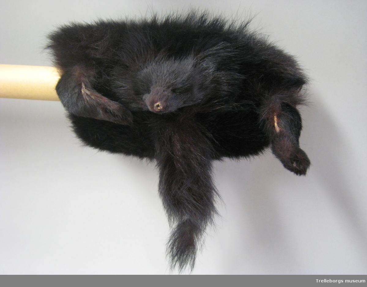 Svart långhårigt skinn med huvud, svans och två ben. Svart foder. Bandögla långt in och liten.