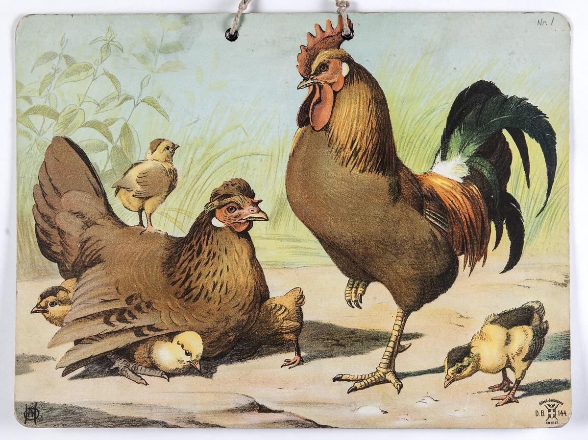 Skoleplansje, naturfag. Illustrert på begge sider, forestiller hønsegård (144) og fugler (linerle, gjøk, hakkespett, Nr. 117).