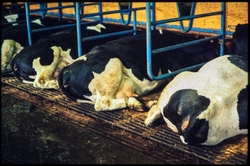 Lantbruk, mjölkproduktion, kor