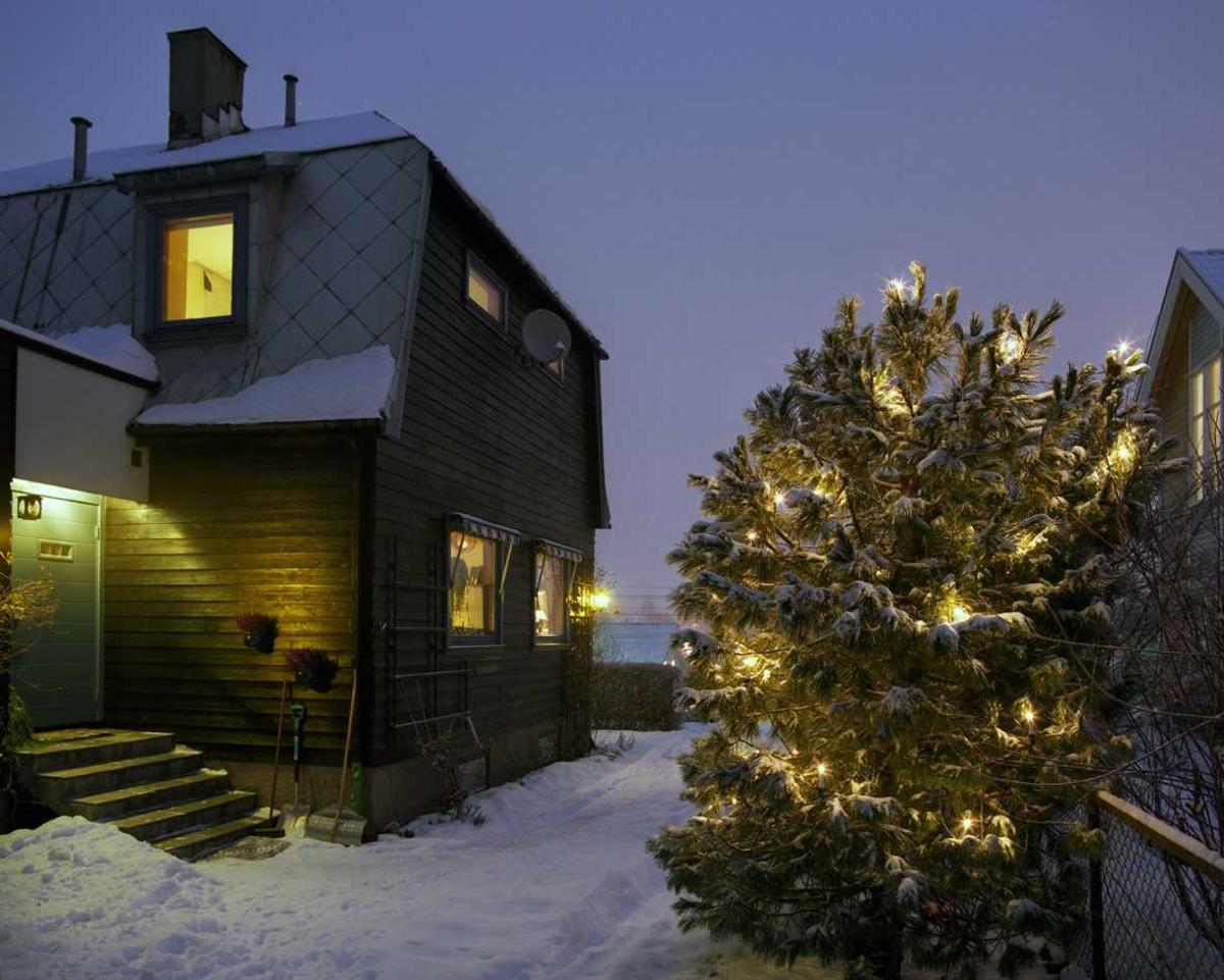 Julebelysning  Hvit julebelysning på furubusk i hage ved enebolig