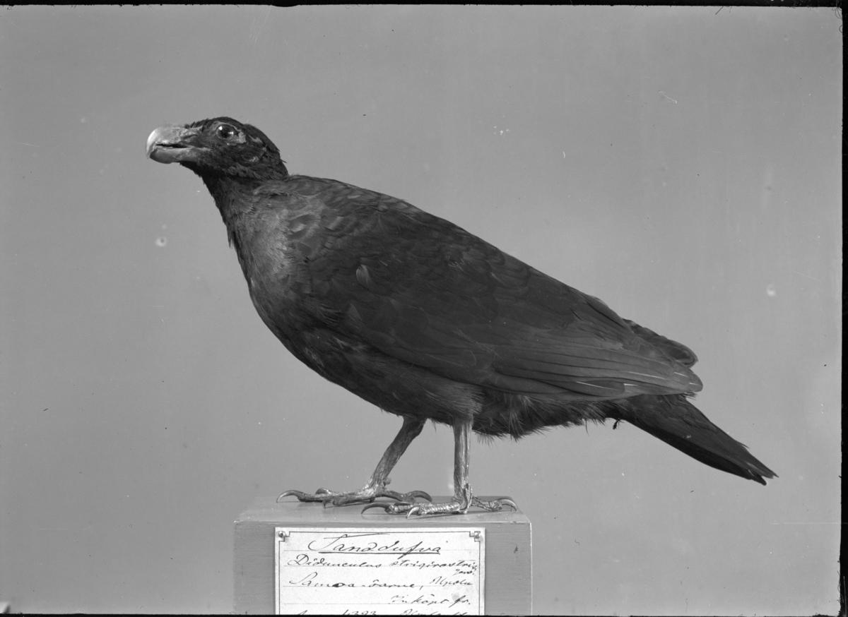 'Tandduva, monterad. Ser ut att står A....? 4393 som Av.ex. eller Av.su. nummer. ::  :: På baksidan av papperskopian står: ''Bild X. Tandduva, drontens närmaste nu levande släkting. Göteborgs Naturhistoriska Museum.'''