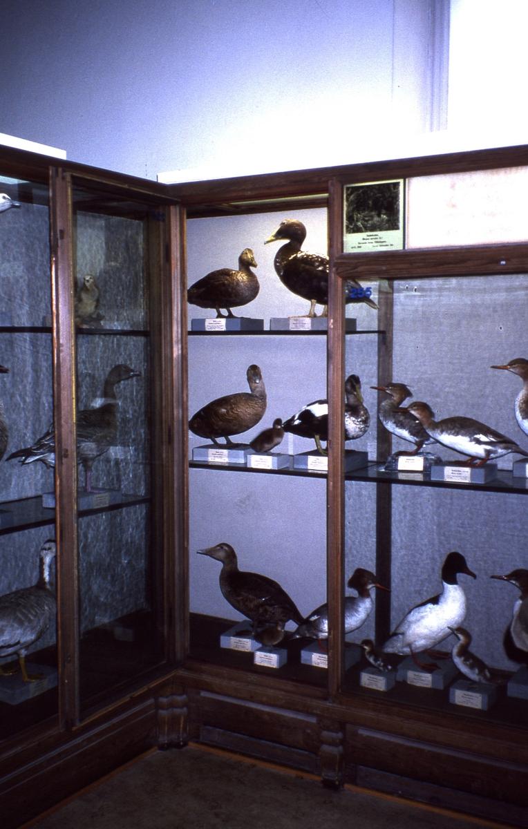 'Fågelgången på Göteborgs Naturhistoriska museum: :: Svenska fåglar. Andfåglar. ::  :: Ingår i serie med fotonr. 1-27'