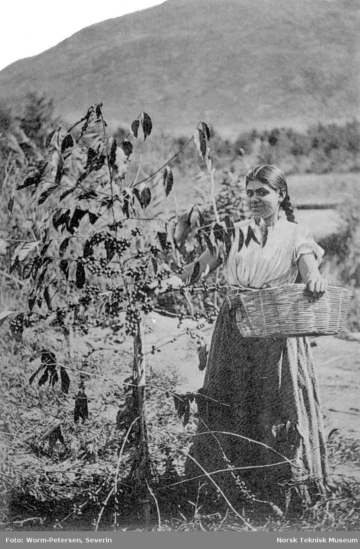 Innhøsting av bær, Guatemala