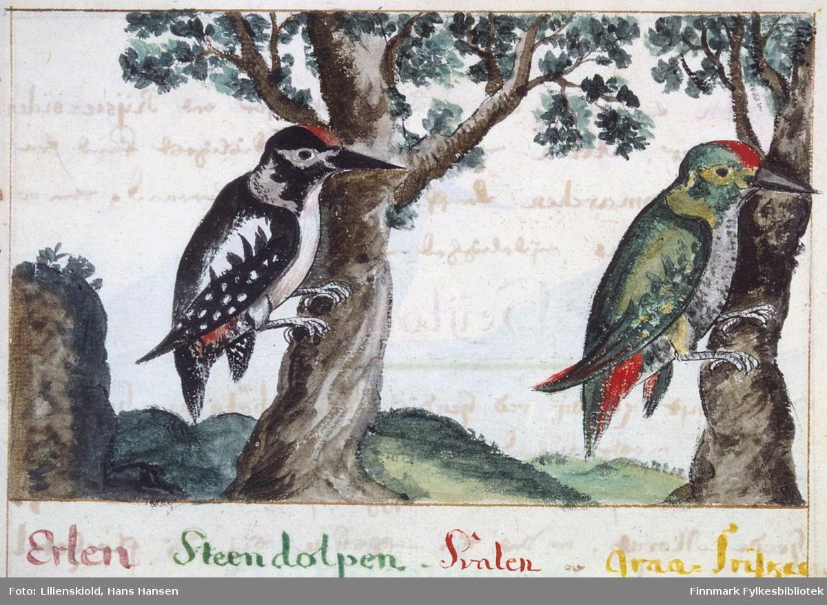 Illustrasjon til beskrivelse av spetter, det har ikke latt seg gjøre å identifisere akkurat hvilke arter dette forestiller