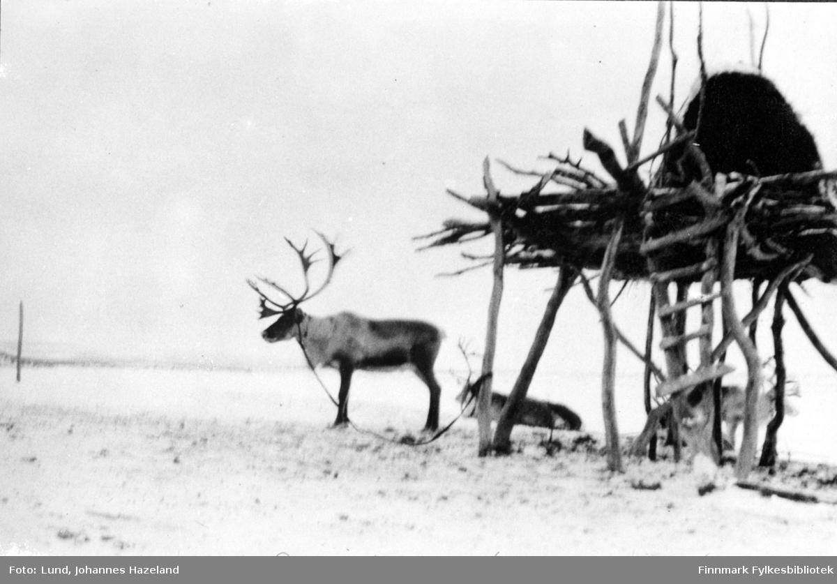 Reinsdyr hviler ved vinterlagringsplass for høy