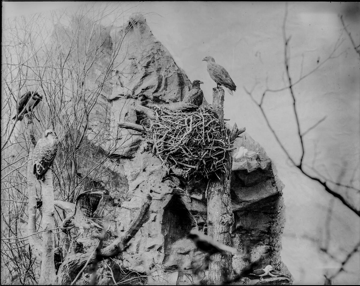 Diorama från Biologiska museets utställning om nordiskt djurliv i havs-, bergs- och skogsmiljö. Fotografi från omkring år 1900. Biologiska museets utsällning Havsörn Haliaeetus Albicilla (Linnaeus)