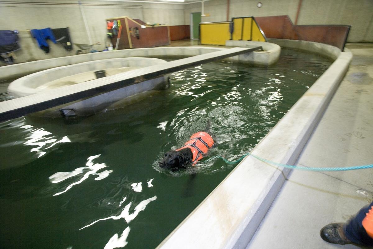 Svømme- og rehabiliteringssenter for hest. Hund svømmer i svømmebasseng.