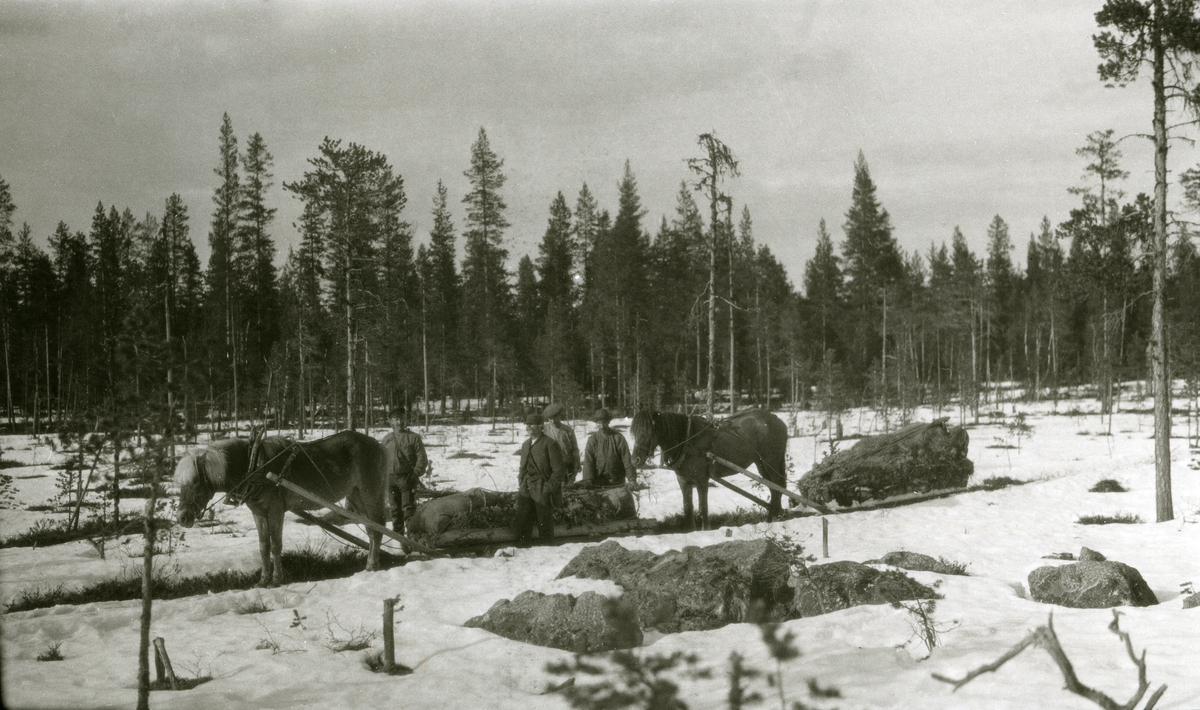 To hester m/sleder, fire menn, tatt på vår-vinteren i skogen (ved ei myr i Umplamp, Galåsen)
