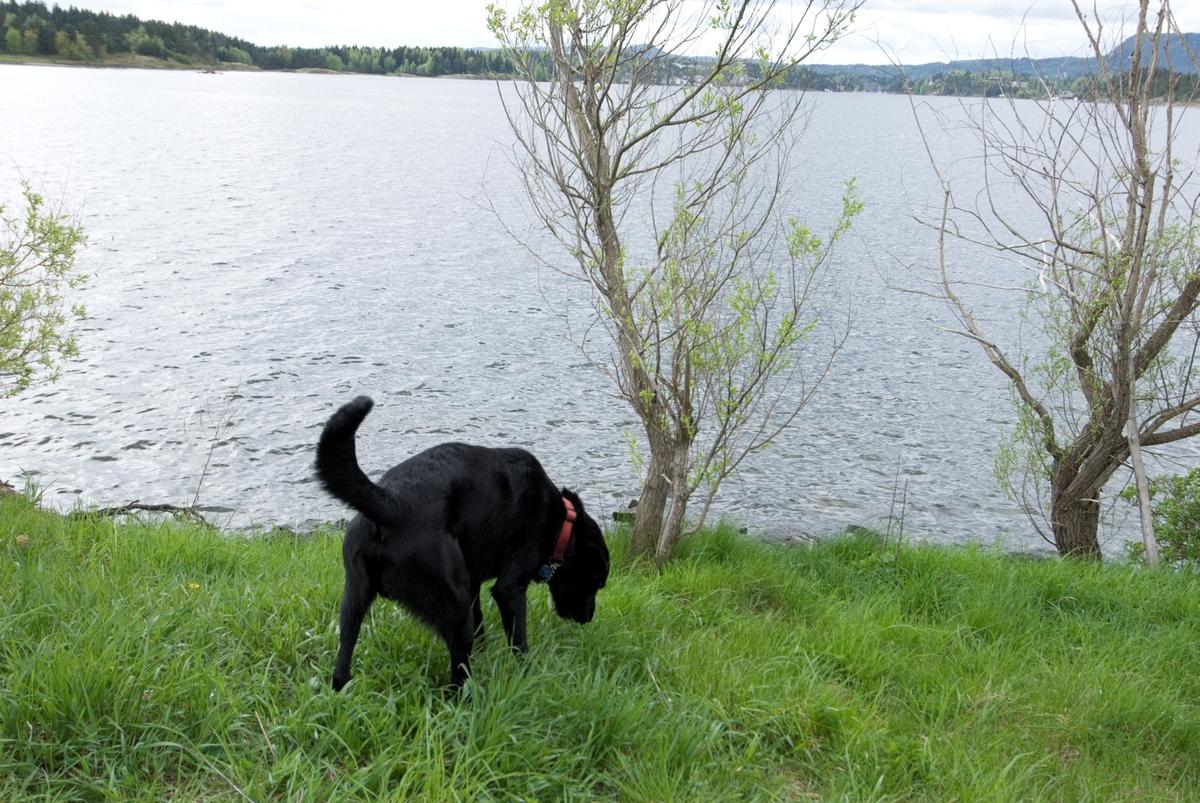 Hunden Chico snuser i gresset på tur ved en skogsjø.