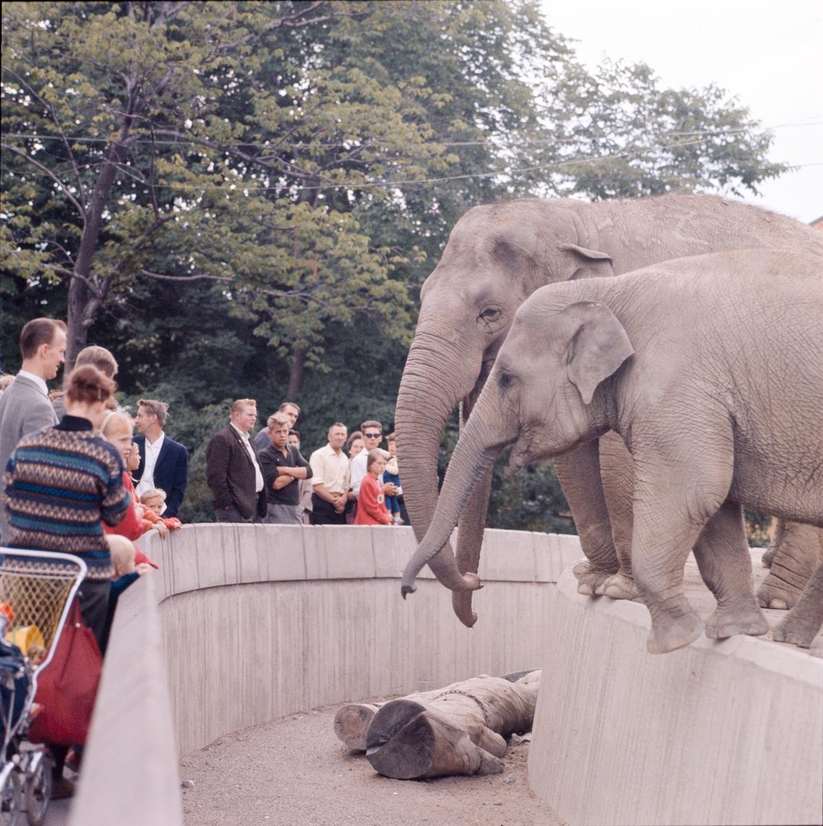 Den unga Asiatiska elefanten Nika i förgrunden vid elefanthuset på Skansen. Barn och vuxna besökare.