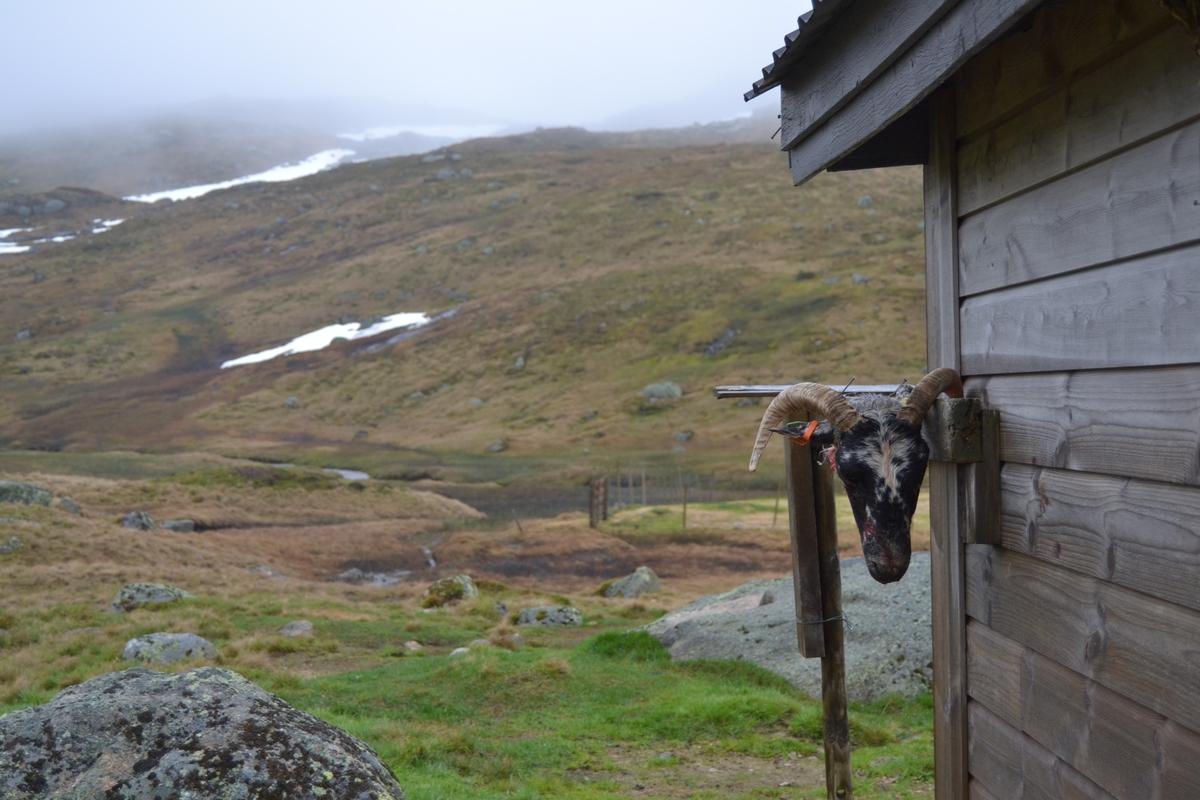 Bilete frå jaging av sau til heis. Bilete 1-3: oppsamlingsgard for å lesse av sauene for å finne lammene sine og roe seg etter transporten. Håhedlervatnet i bakgrunnen. Bilete 4-5: Kvil på hytteheia før Rågeloni, Bilete 6-8: Pause på sletta i Kotedalen i regnver. Bilete 9-10 på Flåto i nordre enden av Monsvatnet. Bilete 11-12: Jagegjengen tek ein pause ved Flåto (Endre Jonassen sit og Morgan Haga er heilt til høgre på neste bilete). Bilete 13-15: sauene er samla i garder ved hytta på Vidalega. Bilete 16: Svartfjeshode. Dei hadde slakta den nokre dagar før til ferskt kjøtt (noko legges i snøfonna, noko etes og noko saltas). Bilete 17-18: blodpannekaker med sjølvlaga flesk lagd av Karl Martin Mattingsdal som jagarane fekk når dei kom opp. Bilete 19: driving langs Vestre Tindevatnet. Bilete 20-21: Tindelego er inst på biledet. Bilete 22-23: pause ved Østre Tindevatn. Bilete 24-32: jaging i Tindedalen. Jagarane måtte bremse sauane litt fordi dei skulle passere eit smalt sted og då strekk flokken seg så mykje at man må stoppe dei for å halde kontroll på alle. Sauane var målretta. Bilete 31-35: Tjerna i toppen av Moltedalen. Bilete 36: Enden av Moltedalen med Lykkjevatnet i bakgrunnen. Bilete 37: Utsikt oppover Moltedalen. Bilete 38-45: Haug like ved Lykkjevatnet. Det blei tidlegare slått her og det har stått ei hytte her. Sauane roes ned før dei sleppes ved Lykkjevatnet. Bilete 46-48: Jagegjengen måtte over bekken som renn fra Grovledalen som renn inn i Lykkjevatnet. Mykje regn dagen før gjorde at dei måtte av med bukser og sko, men sokkar ble holdt på for å ikkje skrape føtene.  Bilete 49-56: Asbjørn Haga viser fram aure frå fjellvatn. Store og fine.
