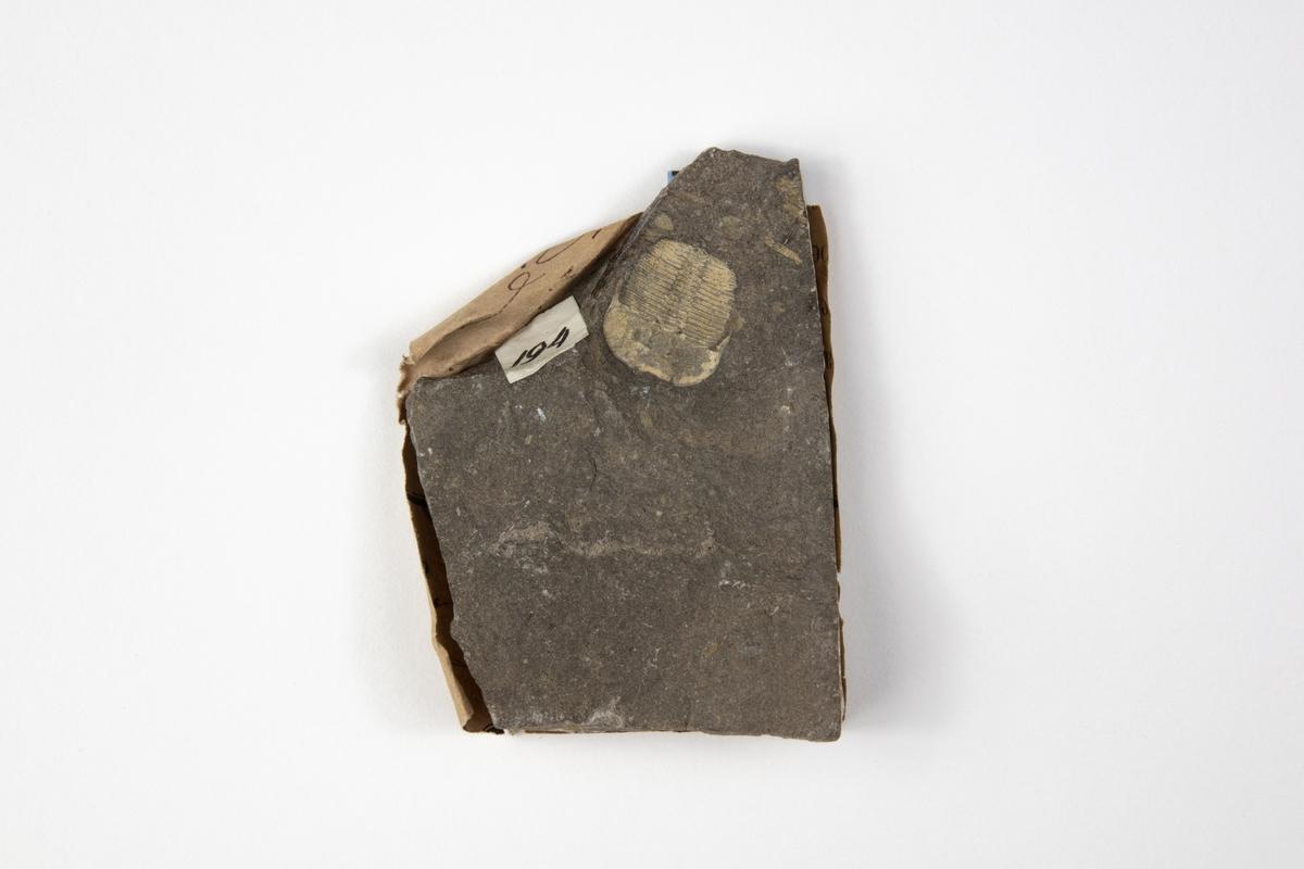 Ett fossil av en trilobit, en utdöd djurgrupp. Djuret är ett leddjur. Exemplaret kommer troligen från Prag i dåvarande Österrike-Ungern och ingår i Adolf Andersohns samling.