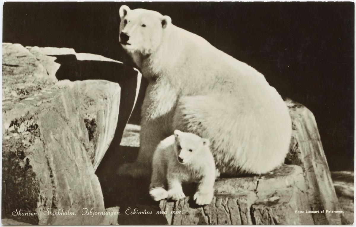 """Vykort med motiv från Skansen. """"Isbjörnsungen Eskimåns med mor."""""""