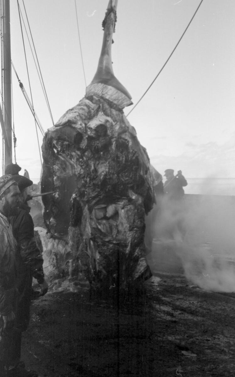 Mannskapet i arbeid med et stort stykke hvalkjøtt. Suderøy på fangstfeltet.