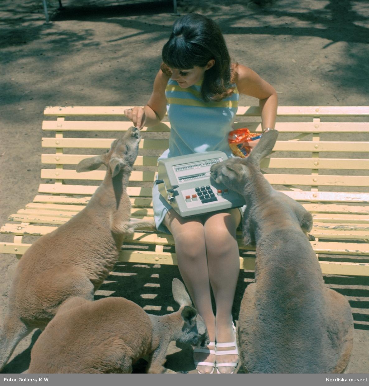 Facit-Australien, 1960-tal. En kvinna sitter på en parkbänk omgiven av  tre nyfikna kangurur som hon matar med något hon har i en påse i sin vänstra hand, Hon har en Facit räknemaskin i knät.