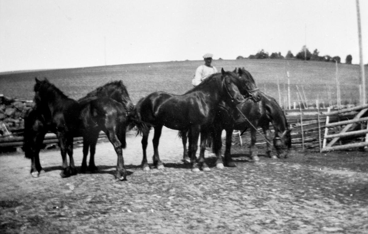 Gustav Amb med hestflokk på Kinni lille, Ringsaker.