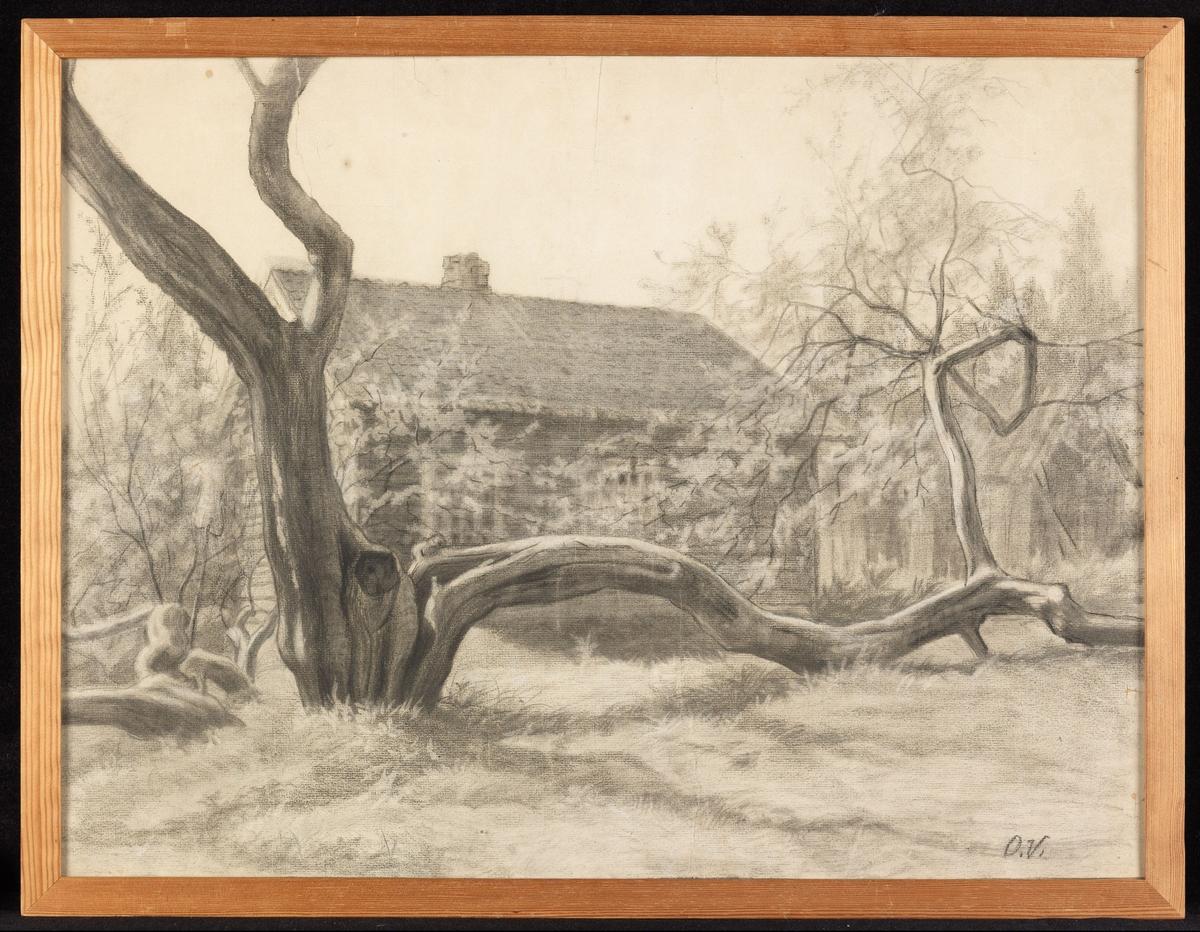 Tre m. få, kraftige, krokete grener hvorav d.e. ligger bortover bakken, i bakgr. et tømmerhus